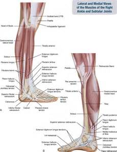 Foot and Leg Muscles Lateral View