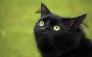 3 black cat yellow wallpaper cat hd wallpaper free