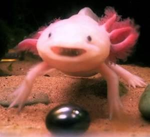 Axolotl | BEACHES: SMILING FISH :-) | Pinterest | The o ...