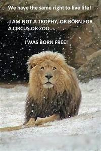 Borne Free Lyon : born free amazing lion i love them so much ~ Medecine-chirurgie-esthetiques.com Avis de Voitures
