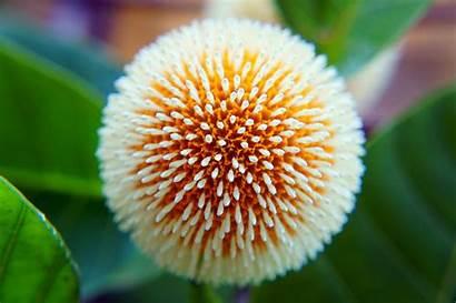 Flower Kadam Nature Beauty