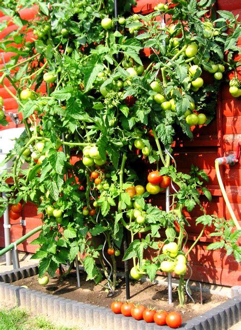tomatensamen selber ziehen tomaten anbauen tomaten selber