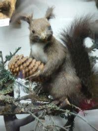 steckbrief eichhoernchen nahrung bilder lebensraum im winter