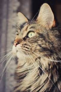 Part Maine Coon Cats