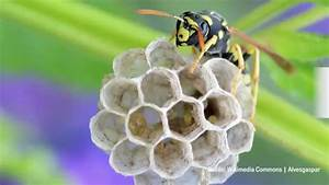Was Hält Wespen Fern : wespen vertreiben tipps zum wespen bek mpfen ~ Whattoseeinmadrid.com Haus und Dekorationen