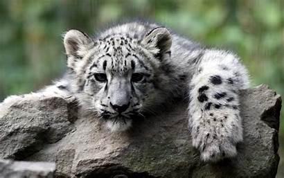 Tiger Cub Wallpapers Driverlayer Engine Pc Wallpapertag