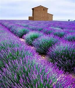 Pflege Von Lavendel : lavendel pflegen lavendel pflege richtig schneiden co das ~ Lizthompson.info Haus und Dekorationen