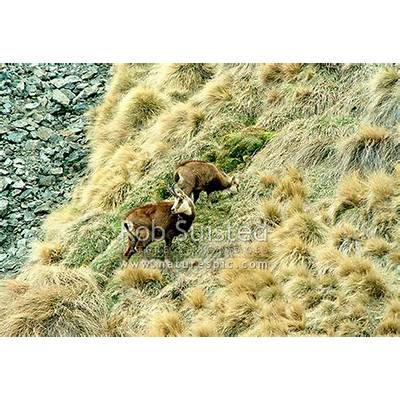 Wild Chamois doe and kid feeding amongst alpine tussock
