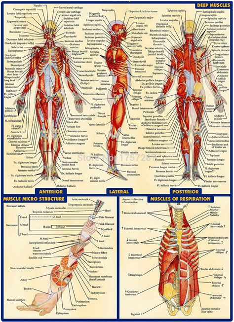 """Download a free preview or high quality adobe illustrator ai, eps. 03 Human Anatomy All System Deep Muscles Map 14""""x19"""" inch Poster-in Poster Materials from ..."""