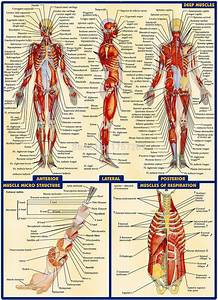 03 Human Anatomy All System Deep Muscles Map  14 U0026quot X19 U0026quot  Inch