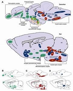 Schematic Sagittal View Comparing Dopaminergic  Green
