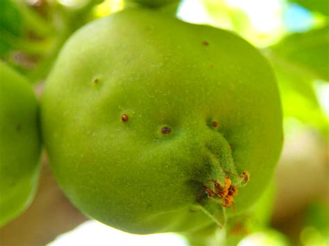 Apple-Campylomma bug   Pacific Northwest Pest Management ...