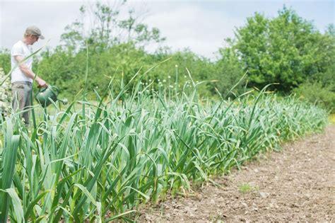 choosing  companion species  plant  garlic
