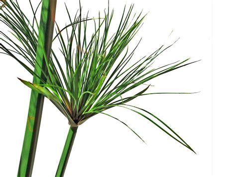 papyrus pflanze kaufen papyrus blatt kaufen gro 223 e papyrus auswahl r 246 mer shop