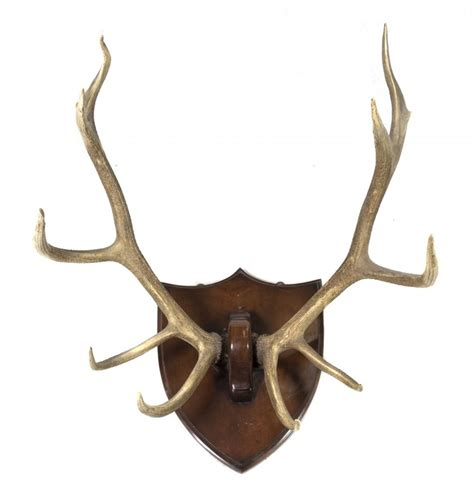 Moose Shed Antler Mounting Kit by An Elk Antler Mount Height From Bottom Tine To Top Tin