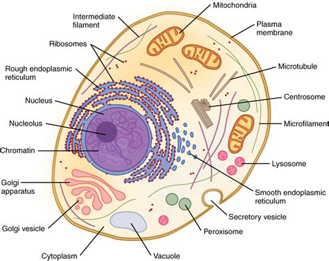 32 The Cytoplasm And Cellular Organelles  Anatomy And Physiology