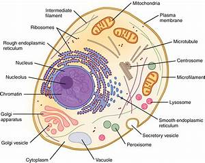 3 2 The Cytoplasm And Cellular Organelles  U2013 Anatomy And