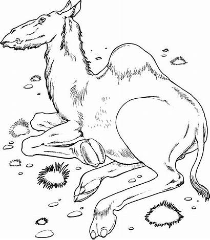 Camel Coloring Pages Printable Desert Animals Wildlife