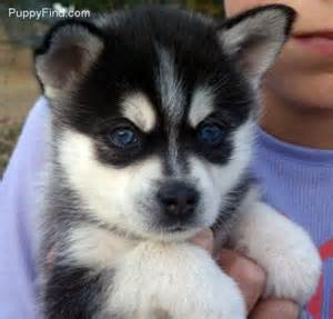 pomsky puppy petsmart caves puppys and so