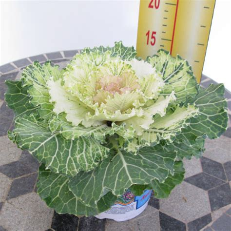 ornamental cabbage plants for sale ornamental cabbage plants for sale 100 images moving past mums alternative fall flowers new