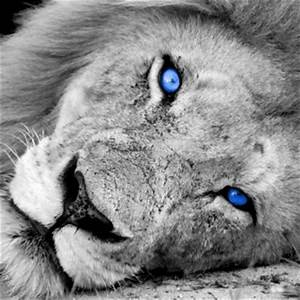 Lion Blue Eyes | CrackBerry.com