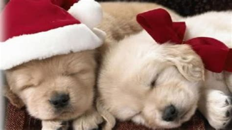 Christmas dog background for smartphone, tablet or computer. Christmas Puppies Wallpapers - Wallpaper Cave