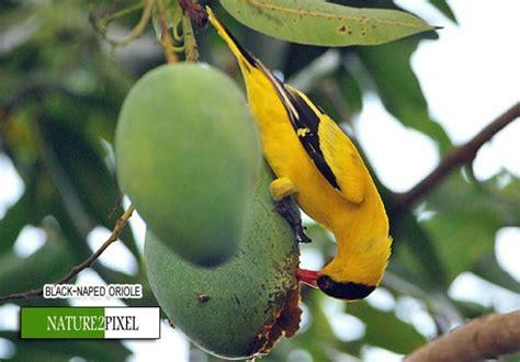 how birds eat mangoes black naped oriole eating a mango