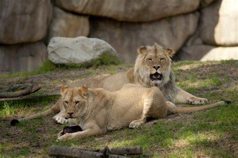 Lions Enjoy Spring Break Enrichment At The Oregon Zoo's