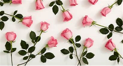 Roses Pink Android Wallpapers