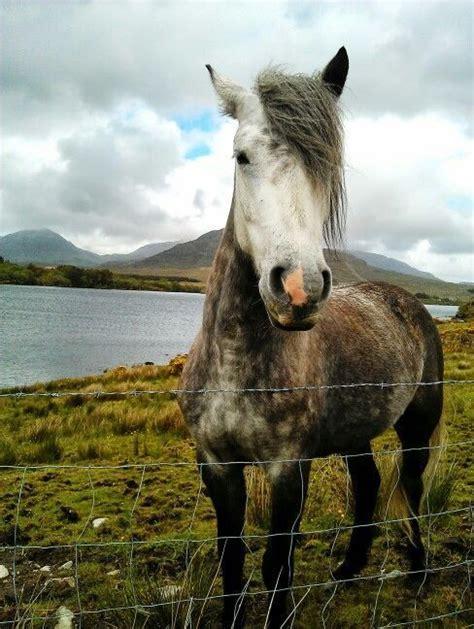 pony horse breeds connemara horses needlepoint drawing purses antique petpress breed