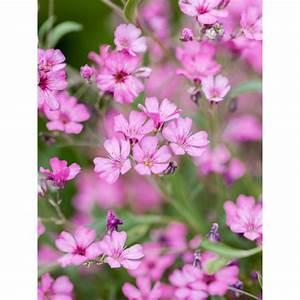 Schleierkraut Im Topf : garten schleierkraut rosea rosa topf ca 9 cm x 9 cm gypsophila kaufen bei obi ~ Watch28wear.com Haus und Dekorationen