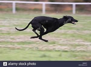 Greyhound running at full speed Stock Photo, Royalty Free ...