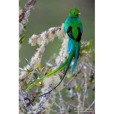 Resplendent QuetzalBirdsPinterest