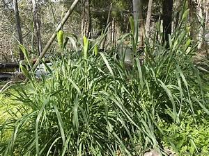 Round the Bend » Toowomba Canary-grass
