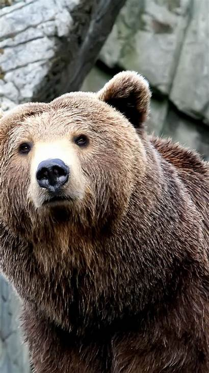 Bear Iphone Grizzly Wallpapers Bears Plus Animals