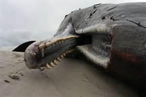 Sperm Whale Teeth