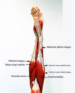 Upper Extremity - Labeled