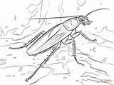 Cockroach Coloring Pages Drawing Cave Madagascar Printable American Hissing Beam Template Triple Cockroaches Bat Roach Balance Getcolorings Sheet Sketch Getdrawings sketch template