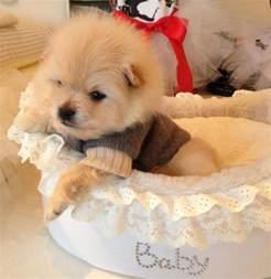 Teacup Pomeranian Puppies Dog