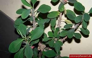 Euphorbia Trigona Vermehren : christusdorn euphorbia milii ~ Orissabook.com Haus und Dekorationen