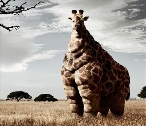 fat giraffe quotes quotesgram