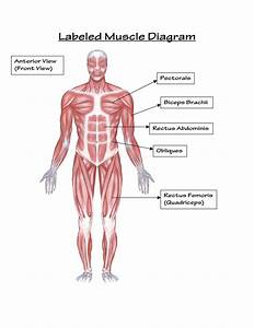 Muscular System Pictures For Kids   Muscular System