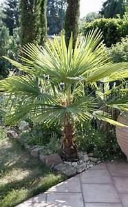 Palmen Für Den Garten : die besten 25 palmen garten ideen auf pinterest palmen f r den garten palmen pflanzen und ~ Sanjose-hotels-ca.com Haus und Dekorationen