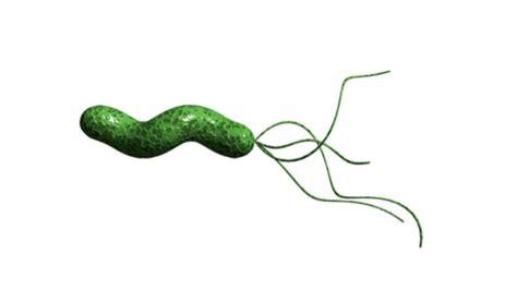 bactérie helicobacter pylori symptomes helicobacter pylori peptic ulcer symptoms bacteria h pylori medici