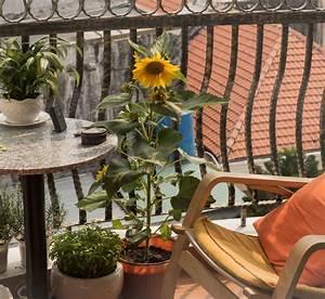 Himbeeren Auf Dem Balkon : sonnenblumen pflanzen anleitung f r topf beet balkon plantura ~ Eleganceandgraceweddings.com Haus und Dekorationen