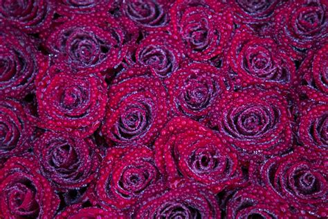 images texture flower petal heart rose pattern