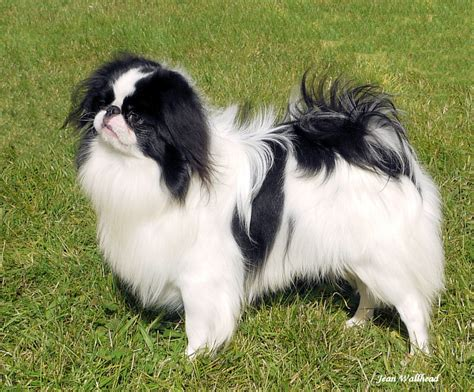 Japanese Chin Breed Guide - Learn about the Japanese Chin.
