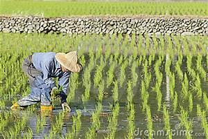 Rice Field Clip Art – Cliparts