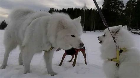 [#117] My Japanese Spitz (日本スピッツ) meets the Samoyed for
