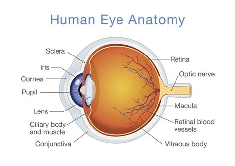 structure  function   human eye